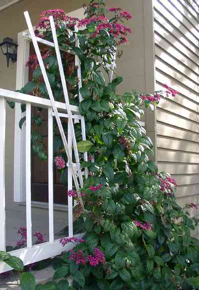 Pensacola:-Seville-Historic-District:-311-East-Intendencia-Street_05.jpg:  trellis, flowering vine, gulf coast cottage